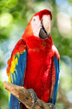 Red, blue, yellow ara parrot outdoor Stock Photos