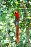 Red, blue, yellow ara parrot outdoor Stock Photography