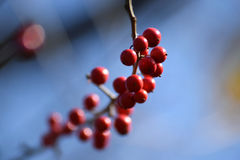 Red Blurry Berries Royalty Free Stock Photos