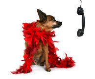 Red boa. Chihuahua mix in with a red boa on Stock Photos