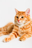 Red bobtail Stock Photos