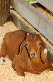 Red Boer Goat. A red paint Boer goat laying in her stall royalty free stock photography
