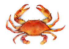 Red boiled crab isolated illustration Royalty Free Stock Photos