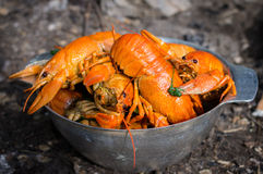 Red boiled crawfish. In a metal plate on the nature Stock Image