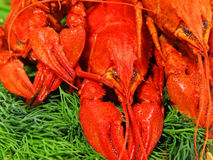 Red boiled crawfishes on a green fennel . Stock Photos