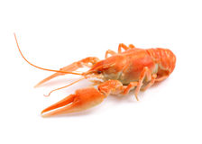 Red boiled crayfish. Stock Photography