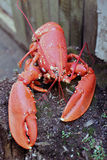 Red boiled lobster in nature Royalty Free Stock Photo