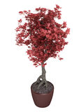 Red bonsai tree in a pot Stock Images