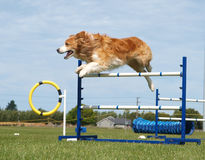 Red Border Collie Royalty Free Stock Image