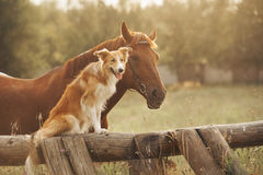 Red Border Collie Dog And Horse Stock Photo