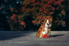 Red Border Collie dog with bouquet of flowers stock images