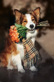 Red Border Collie dog holding a bouquet of flowers Royalty Free Stock Photo