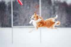 Dog jumping in mid-air Royalty Free Stock Photography