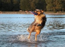 Border collie dog playing with a frisbee in water Royalty Free Stock Photography