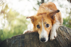 Red border collie dog lying on a log Stock Image