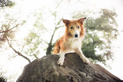 Red border collie dog lying on a log Stock Photo