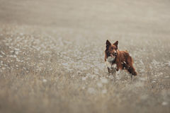 Red border collie dog in a meadow Stock Photos