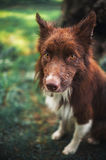 Red border collie dog, portrait close Stock Images