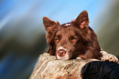 Red border collie dog Royalty Free Stock Image