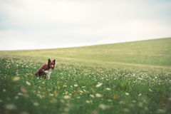 Red border collie dog sitting in a meadow Royalty Free Stock Photos