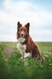 Red border collie dog sitting in a meadow Royalty Free Stock Photography