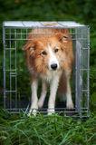 Red border collie dog standing in cage Royalty Free Stock Images