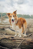 Red Border Collie dog is standing on a log Royalty Free Stock Photos