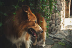 Red border collie look away Royalty Free Stock Photo