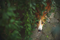 Red border collie looking from bottom at camera Royalty Free Stock Photos