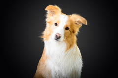 Red border collie looking at you Stock Photo
