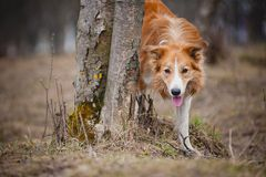 Red border collie looks out from behind a tree Stock Photography