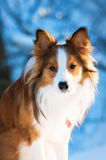 Red border collie portrait, close up Stock Photography