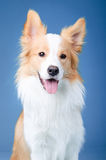 Red border collie portrait in studio Royalty Free Stock Image