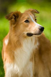 Red border collie portrait in summer. Sable border collie dog portrait in summer Royalty Free Stock Images