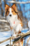 Red border collie portrait in winter Stock Photos
