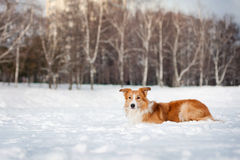 Red border collie portrait in winter Royalty Free Stock Photos