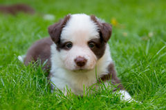 Red border collie puppy royalty free stock images