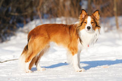 Red border collie standing on the snow in winter. Sable (red) border collie standing on the snow in winter royalty free stock photo