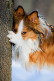 Red border collie and tree, close up portrait Royalty Free Stock Photography