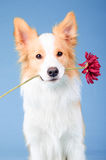 Red border collie, trick with red  flower Royalty Free Stock Images