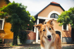 Red border collie walking in Szentendre Stock Image