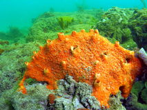 Red Boring Sponge. Appears to encrust. but actually bores into coral heads. It has numerous wart-like openings on the surface, with excurrent openings that royalty free stock photos