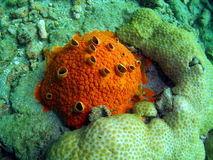 Red Boring Sponge. Appears to encrust. but actually bores into coral heads. It has numerous wart-like openings on the surface, with excurrent openings that stock photos