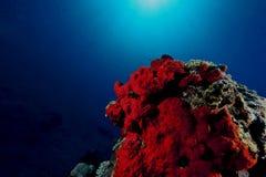 Red boring sponge Stock Photos