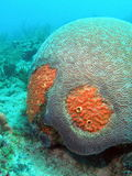 Red Boring Sponge and Brain Coral. Brain Coral with Red Boring Sponge at 30 feet Stock Image