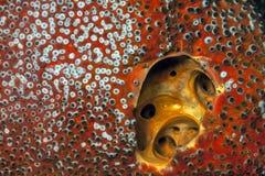 Red Boring Sponge, Cliona celata Royalty Free Stock Images