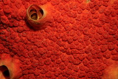Red boring sponge Cliona delitrix close up image Royalty Free Stock Image