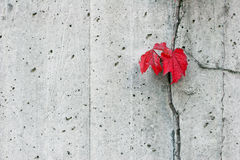 Red Boston Ivy on Concrete Wall. Two red Boston Ivy leaves contrasted against stark grey concrete wall Royalty Free Stock Photos