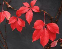Red Boston Ivy leaves. In autumn against the backdrop of grey wall Royalty Free Stock Images