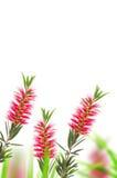 Red bottle brush flower Royalty Free Stock Photos